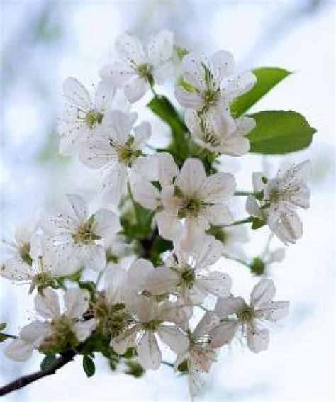 fiore di cigliegio bianco fiore di ciliegio scaricare foto gratis
