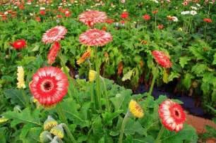 mancini fiori azienda agricola mancini fiori di ascenso mancini