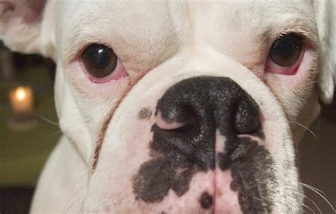 do dogs get pink eye can dogs get pink eye from humans