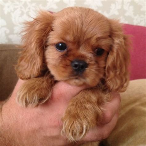 ruby cavalier king charles spaniel puppies for sale cavalier king charles ruby kc pup sudbury suffolk pets4homes