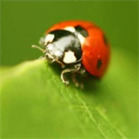 pest giving the goodbye to ladybugs in your home