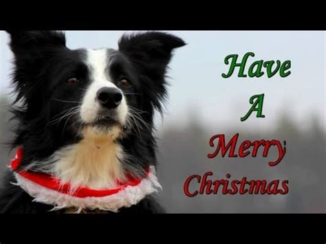 merry christmas  nana  border collie youtube