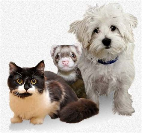 anaphylaxis in dogs anaphylaxis allergic shock vaccine reactions in dogs cats and ferrets pet health