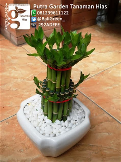 Bambu Hoki Tanaman Hidup Dalam Pot Keramik Lengkap Dengan Hidrogel tanaman hias unik bambu rejeki lucky bamboo di bali