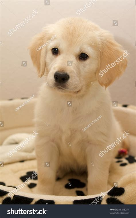 spotted golden retriever golden retriever puppy spotted stock photo 15245254