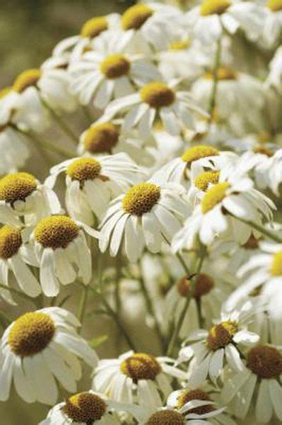 chamomile safe for cats is chamomile safe for cats pets