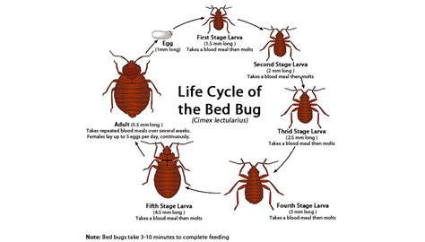bed bug life span life cycle of a bedbug everything you need to know