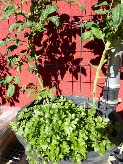 Tomaten Ausgeizen Anleitung 5184 by Anleitung Zum Tomaten Pflanzen Ausgeizen Und Bl 228 Tter