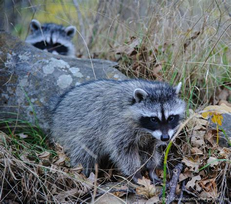 what color are raccoons fall colors and raccoons in oak creek flagstaff altitudes