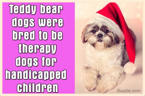 teddy puppies information facts about the teddy breed that ll make you go aww