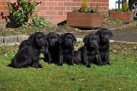 black retriever puppies black chocolate labrador retriever puppies stoke on trent staffordshire pets4homes