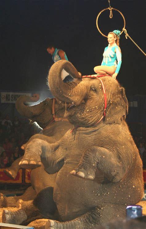 Circus Elephant Rage Circus Elephant Sitting Up Busybeetraveler