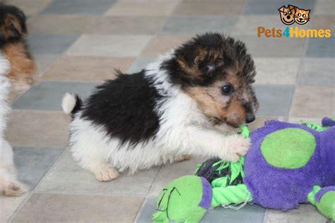 wire fox terrier puppies breeders wire fox terrier puppies for sale newnham gloucestershire pets4homes