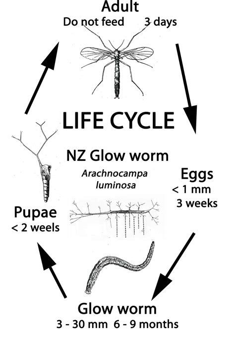 Types Of Garden Fungus - friends of the wellington botanic garden wellington new zealand glow worms
