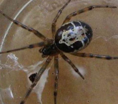 Garden Spider Vs False Widow Pictured False Widow Spider Bite Turned My Neck Black