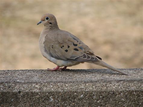 7 facts you didn t know about the mourning dove