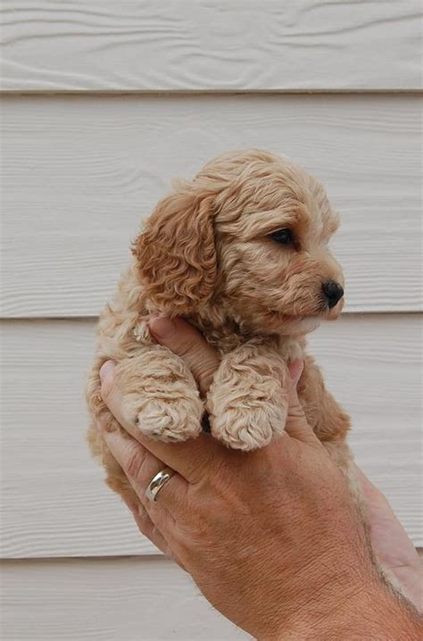 cost of labradoodle puppy labradoodle puppy 1 comment
