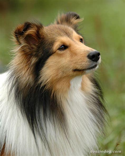 sheltie puppies shetland sheepdog dogzone nyc