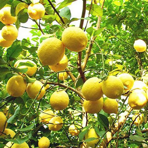 Bibit Jeruk Lemon Manis pohon jeruk manis beli murah pohon jeruk manis lots from