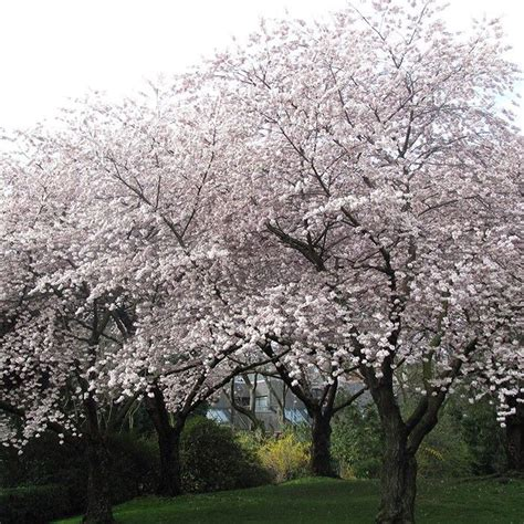 cherry blossom tree zone 9 17 best images about our fruit trees on trees white flowers and cherries