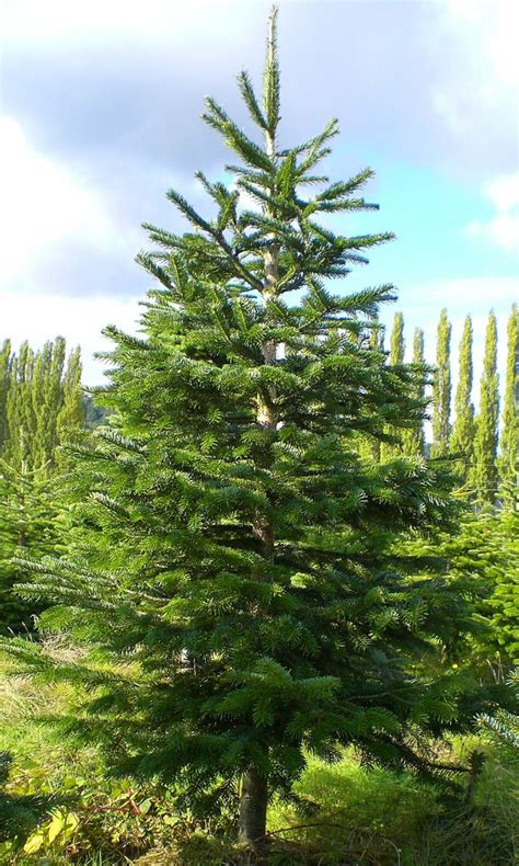 grandinroad noblis fir tree for sale noble fir trees for sale liming me