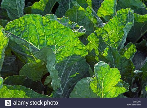 Brassica Oleracea Var Sabellica 3764 by Brassica Oleracea Var Sabellica Brassica Oleracea Var