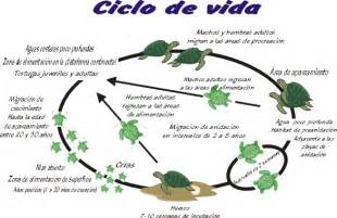 imagenes de ciclo de vida de la tortuga ayotzintli ac por un mundo con tortugas marinas 1 01 11