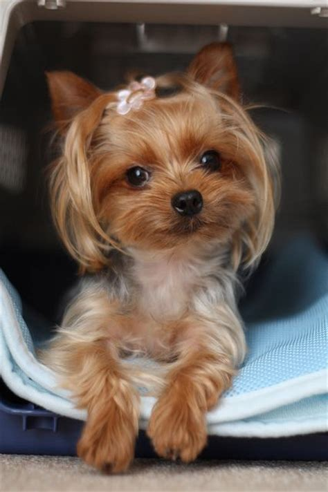 korean yorkie haircuts 190 best images about yorkie hairdo on pinterest