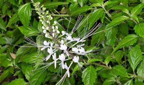 khasiat tanaman kumis kucing  kesehatan insight