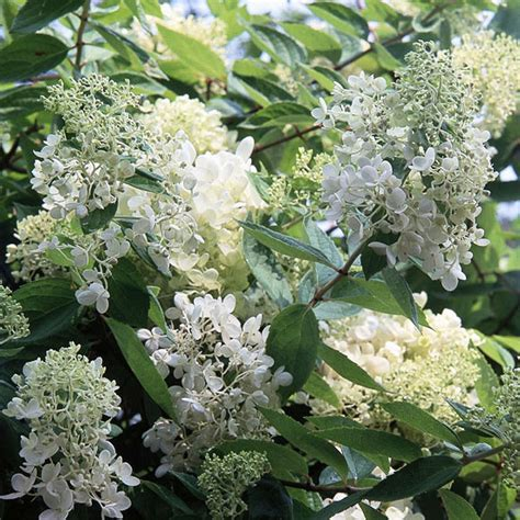 flowering summer shrubs the 13 best summer blooming shrubs really home