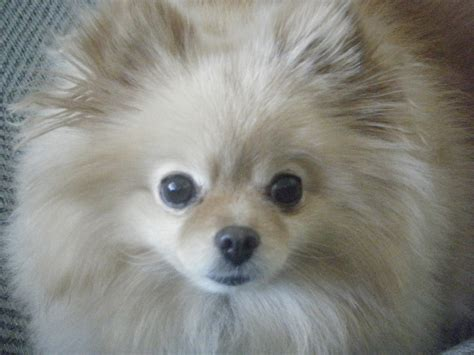 mad pomeranian 267 best images about peace pomeranians on cutest dogs doggies and