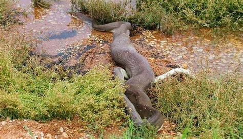 ular piton sepanjang  kaki menelan hidup hidup buaya