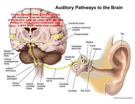 vestibular nerve definition medical exhibits demonstrative aids illustrations and models