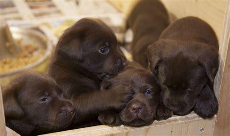 chocolate puppies chocolate lab puppy wallpaper wallpapersafari