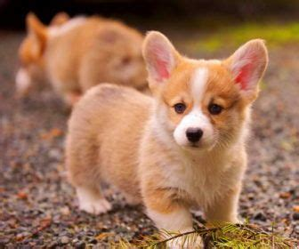 corgi puppies near me 10 best ideas about corgi puppies on corgis pembroke corgi and
