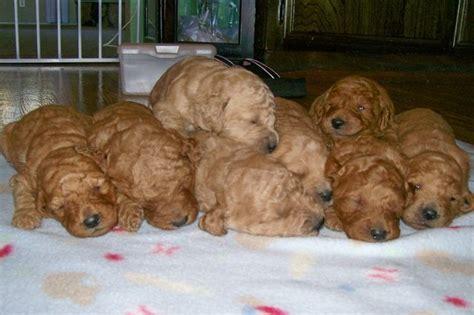 goldendoodle puppies for adoption beautiful goldendoodle puppies available for sale adoption from san diego california