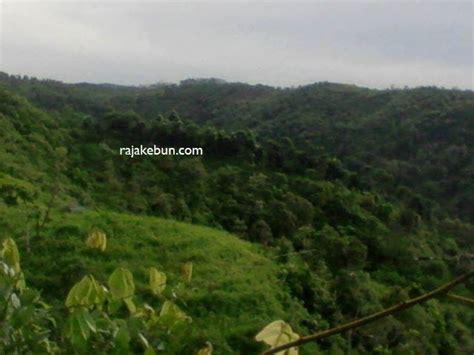 Patch Karet Jawabarat jual kebun karet di tasikmalaya jawa barat 081311661479 rajakebun