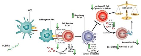 sle resume for biology major hcdr1 systematic lupus erythematosus xtlbio