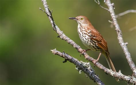 brown thrasher roads end naturalist