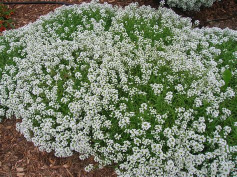 how to grow alyssum gardening alyssum growing alyssum sweet alyssum