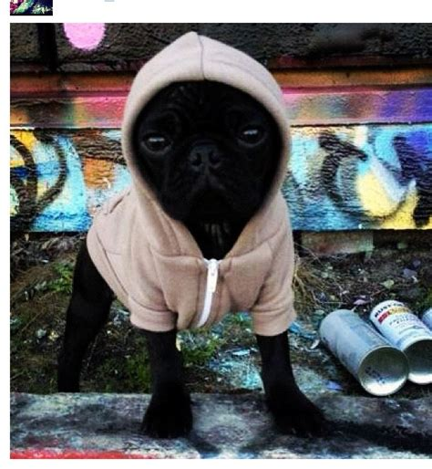 gangster pug gangster pug puppies
