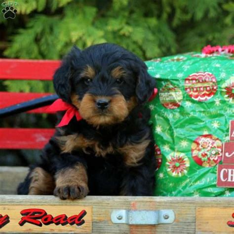 rottie poo puppies for sale jingle rottie poo puppy for sale in pennsylvania