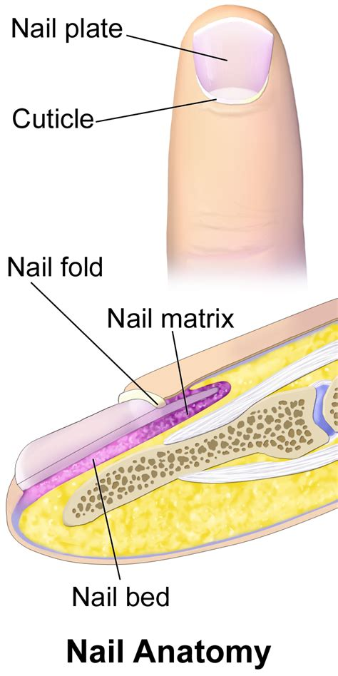 what is a nail bed nail matrix wikipedia