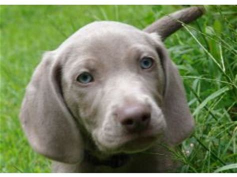 weimaraner puppies for sale in michigan weimaraner puppies for sale