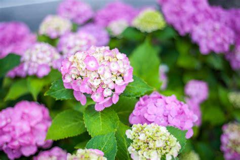 Hortensie Endless Summer Schneiden 4634 by Hortensie Endless Summer 187 Pflanzen Pflegen D 252 Ngen Co