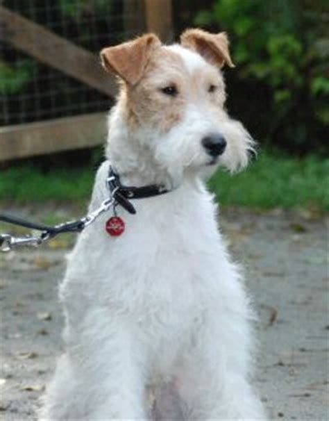 wire fox terrier puppies for sale near me fox terrier wire characteristics photo