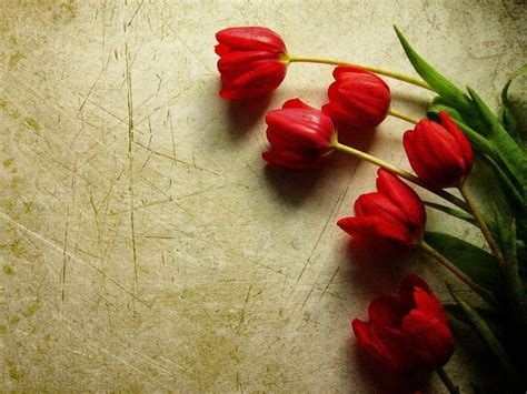 wallpaper bunga gratis tulip wallpapers wallpaper cave