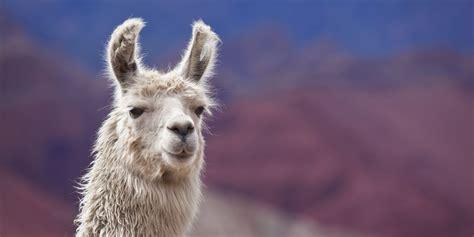 pet llamas  alpacas