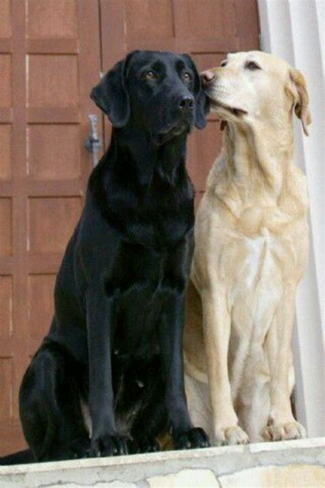 black lab puppies info 49 best images about black labrador retriever portraits photographs