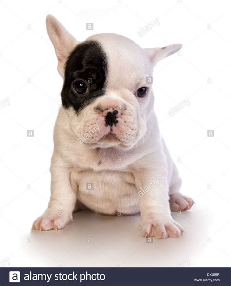 black and white bulldog puppy adorable black and white bulldog puppy with patch on eye stock photo royalty